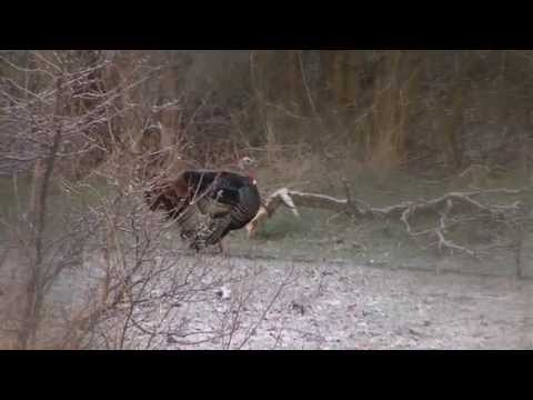Turkey Hunting Basics - Utah Species And Habitat - Part 1 Of 5