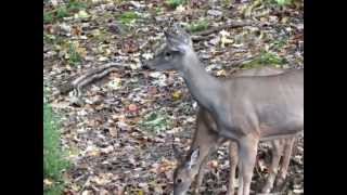 canon sx40 hs camera test 2nd movie zoom deer and fawn
