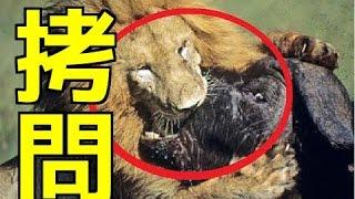 【閲覧注意】ライオンのえげつない狩り・・イノシシの断末魔とバッファ...