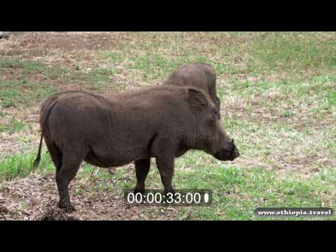 Ethiopia - Warthogs, Bale National Park