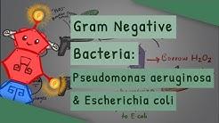 Gram Negative Bacteria: Pseudomonas aeruginosa and Escherichia coli