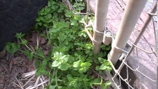 Foraging: Chickweed!
