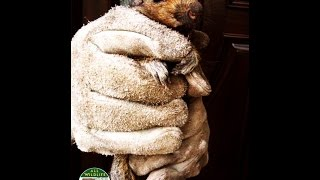 Humane Squirrel Eviction from Attic 40 feet High 732-284-3807 | Squirrel Trapping and Removal