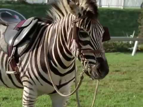 Spread Your Wings: Racing Stripes Travel Video