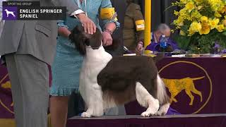 Spaniels (English Springer) | Breed Judging 2020