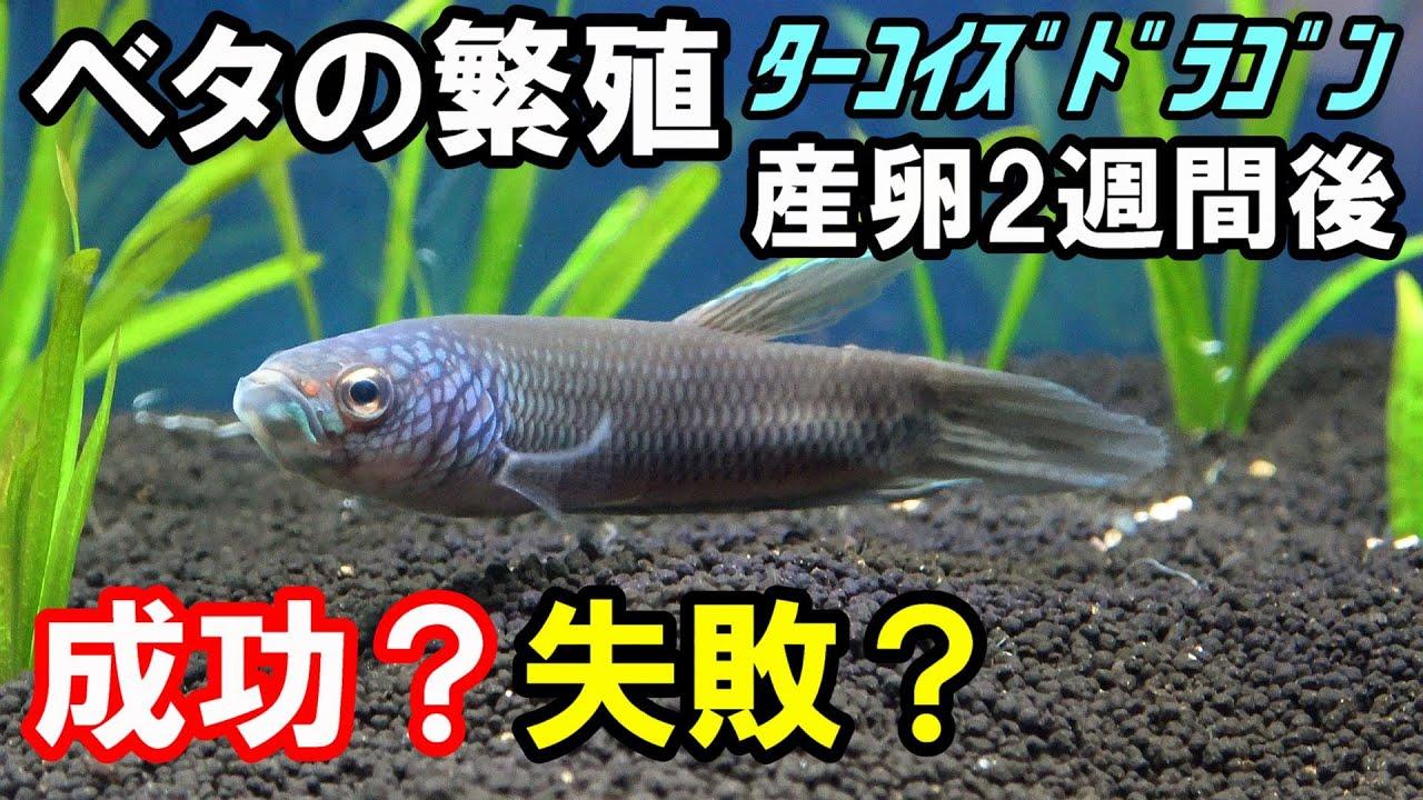 【ベタの繁殖】子供たちはどこだ!?  bettafish ターコイズドラゴン