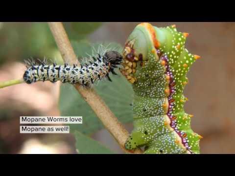 The Mopane Worm