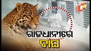 Leopard spotted in Bhubaneswar: OTV Special Report