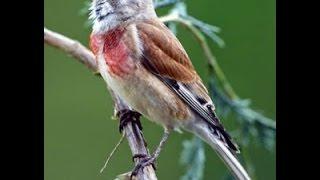 Suara Ocehan Burung LINET Untuk Masteran KENARI Durasi Panjang