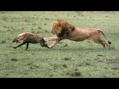 Çakalların özgürlüğü erkek aslan ayağa kalkana kadardır