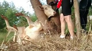 Men See A Cow With Her Head Stuck In A Tree And Rush To Help Her