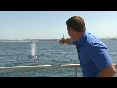 Humpbacks all over the place - Big Blue Live: Episode 3 - BBC One