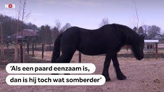 EENZAME PAARDEN: Veel paarden staan alleen, terwijl ze behoefte hebben aan gezelschap