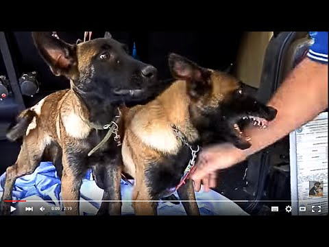 ЗЛЫЕ ЩЕНКИ МАЛИНУА. PUPPIES piranha .Belgian Shepherd .