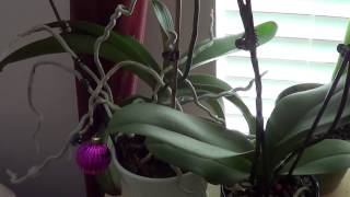 Как правильно ухаживать за домашними орхидеями(Статья с подробностями тут: http://www.doctorvlad.com/deladomashnie/index.php/2015/01/kak-pravilno-uxazhivat-za-domashnimi-orxideyami-video/, 2015-01-30T20:36:41.000Z)