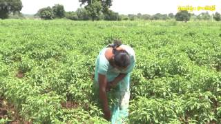 1 acre mirch crop = 30 quintal in natural farming