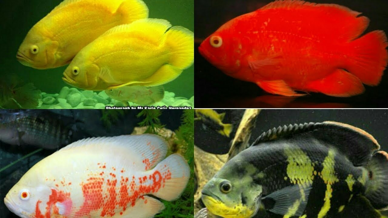 All Types Of Oscar Fish Youtube