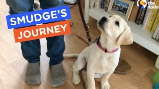 A Guide Dog's Life: Smudge's Journey Ep. 10 | The Dodo thumbnail
