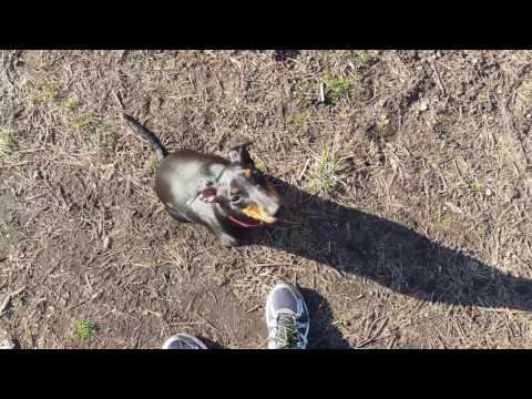 Tresura psa (Manchester Terrier)