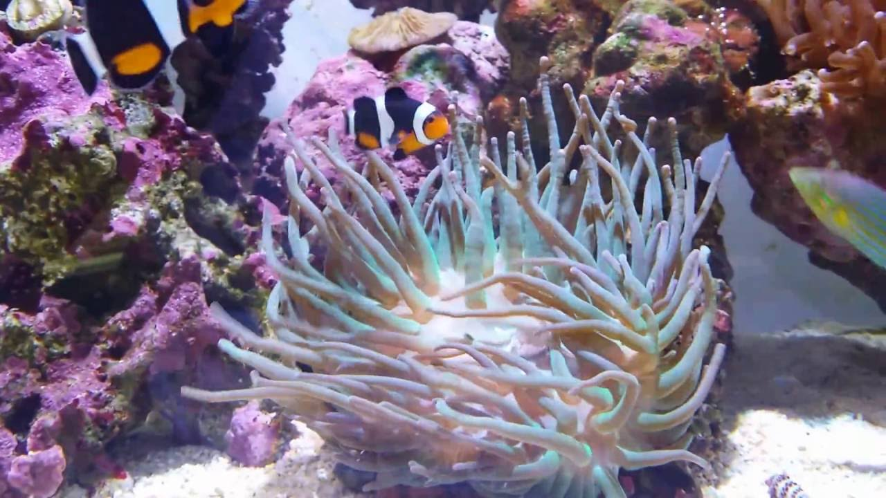 How to care for anemones doovi - Anemone species caring color refinement ...