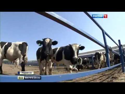 Совхоз «Звениговский» (Марий Эл) – эталон развития сельхозпроизводства в России
