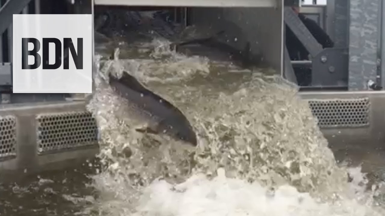 Penobscot Atlantic Salmon Returns highest since 2011