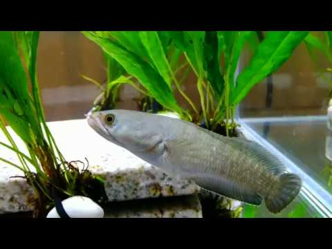 My Snakehead & Wolf Fish Feeding (New Tanks)