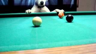 Halo...The Pool Shooting Dog