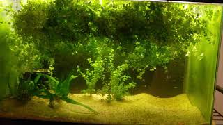 Guppy fry java fern and baby tears