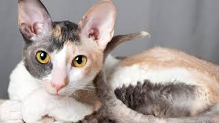 Colorpoint Shorthair  Cat Breed  Pet Friend