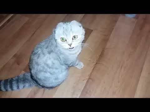 �� Кошка Просится на Руки к Хозяйке �� Мяуканье Кошки Скоттиш Фолд / Шотландская вислоухая