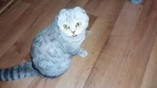 😻 Кошка Просится на Руки к Хозяйке 🐱 Мяуканье Кошки Скоттиш Фолд / Шотландская вислоухая