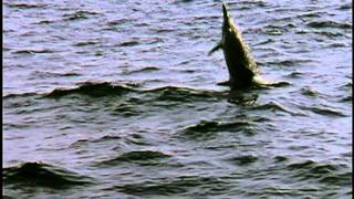Ocean Acrobats: The Spinner Dolphins