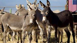 Download Video kesempatan terakhir untuk mengadopsi seekor keledai dari hawaii - Tomonews MP3 3GP MP4