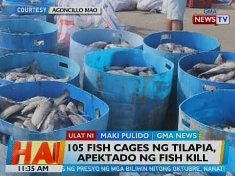 BT: 105 Fish Cages Ng Tilapia, Apektado Ng Fish Kill Sa Batangas