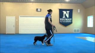 Frank (australian Shepherd) Puppy Camp Video