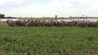 """Carneros Raza Merino Australiano de """"El Totoral"""", Salto, Uruguay video 3"""