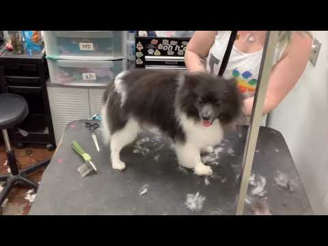 Grooming Moose the Pomeranian