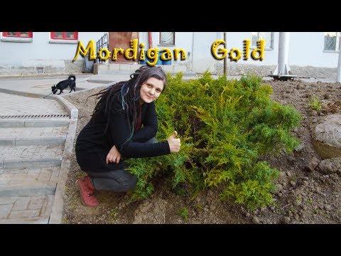 """Пересадка взрослого Золотого можжевельника """"Mordigan Gold"""""""