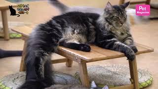 메인쿤 '쿵' 멋진 허당 고양이 | Maine Coon, It's great cat.
