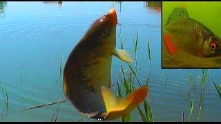 На ОЗЕРЕ. рыбалка на поплавочную удочку, Рыбалка. Ловля карася, карпа на поплавочную удочку. fishing(14 мая. Озеро. Глубина 1,3м, ловил 7м от берега. На видео на 1мин 47 сек до 2мин 06сек впервые попали в съемку краси..., 2015-05-15T18:04:38.000Z)
