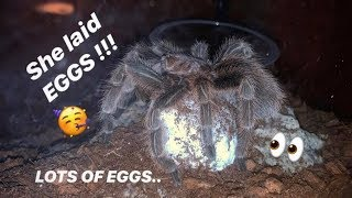 FIRST TIME mother TARANTULA lays MASSIVE EGG sac !!! ~ HELL YEAH !!!