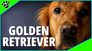 Golden Retriever Dogs 101  Possibly the Perfect Dog