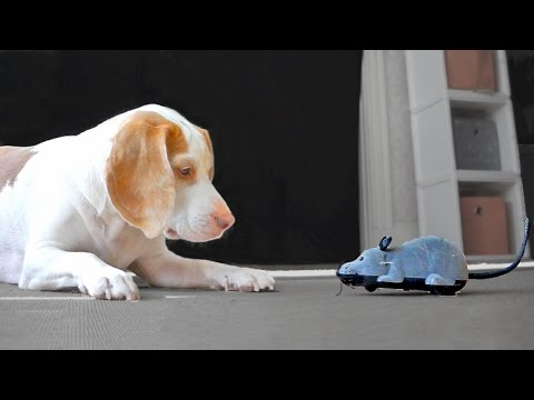 Dog Ambushed by Motorized Rodents: Cute Dog Maymo
