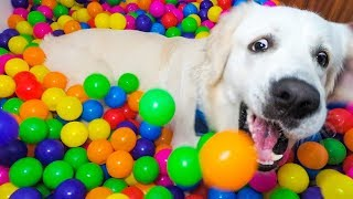 Puppy Birthday Surprise: DIY Ball Pit for Funny Dog Bailey