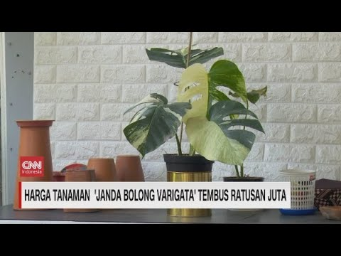 Harga Tanaman Janda Bolong Varigata Tembus Ratusan Juta Youtube