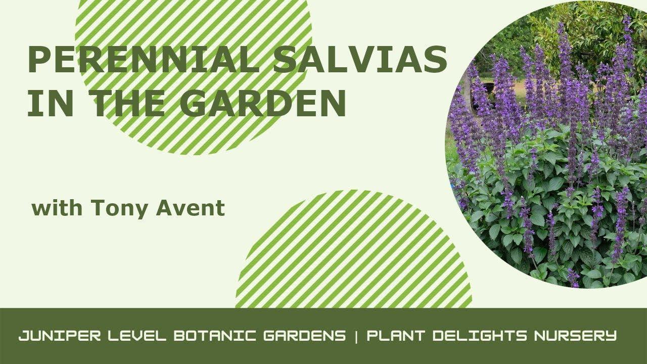 Perennial Salvias At Plant Delights Nursery