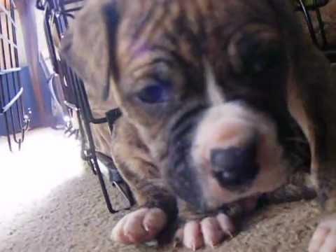 American Bull Dog Boxer Mix New Family Pet Youtube