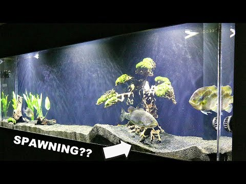 Will Pet Bass Spawn In A Fish Tank?