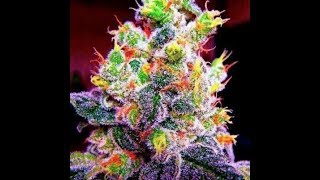 The Most Expensive Marijuana Strains In The World   High Priced Cannabis
